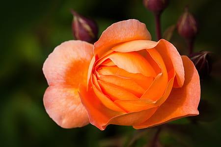 orange rose close up photo