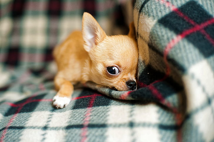selective focus photography of brown chihuahua lying on green and red plaid textile