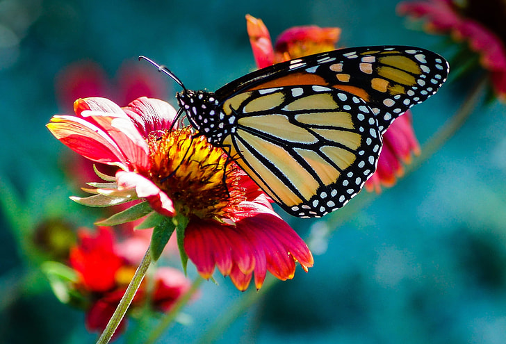 selective focus photo of monarch butterfly perch on flower