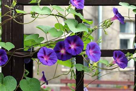 purple morning glory vines in bloom at daytime