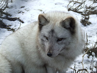white and gray snow wolf
