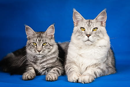 two silver bobcats