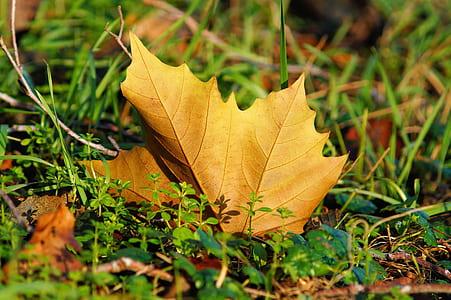 maple leaf on ground