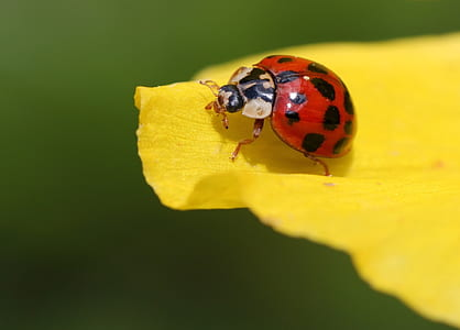 red ladybird on yellow petal