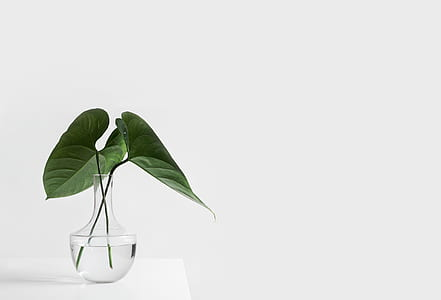 two green leaves in clear glass vase