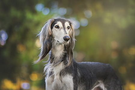 tilt shift photo of gray Saluki dog