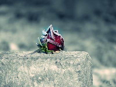 red Rose flower on brick