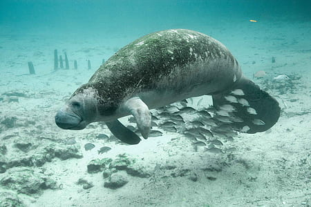 dugong swimming underwater