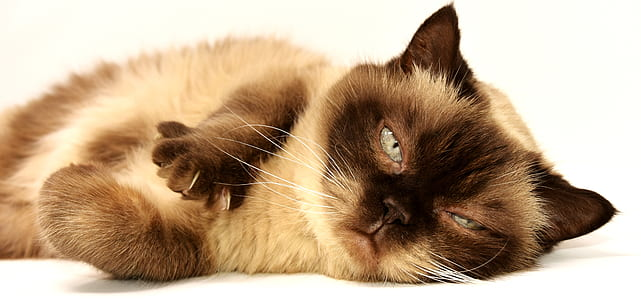 Himalayan cat on white floor