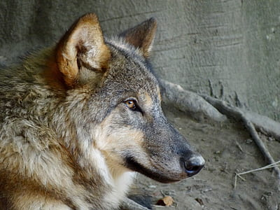 brown and black wolf near soil