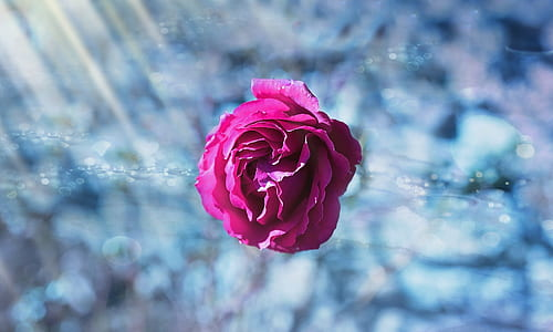 selective photography of pink rose flower
