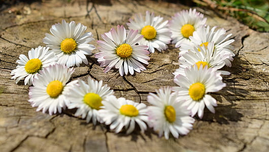 white-and-yellow daisy flowers