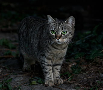 gray and black tabby cat