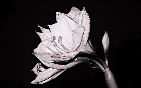 grayscale photo bougainvillea