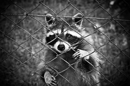 greyscale photo of raccoon on cyclone fence