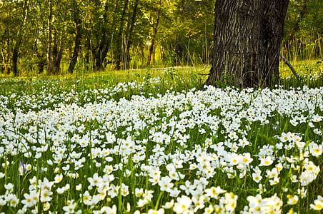 white flower field with large black tree