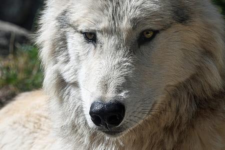 portrait photo of wolf