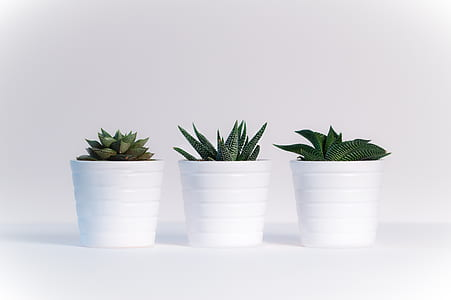 three succulents with white pots