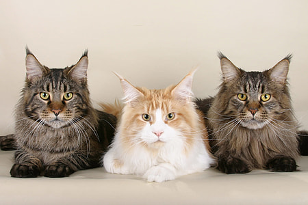 three black, brown, and whiter persian cats