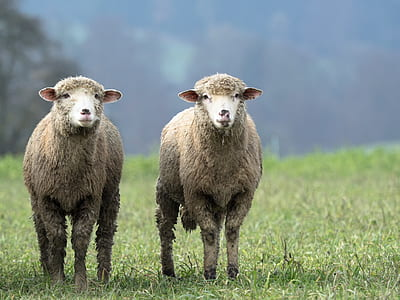 tilt lens photography of two brown sheep on green grass field during daytime