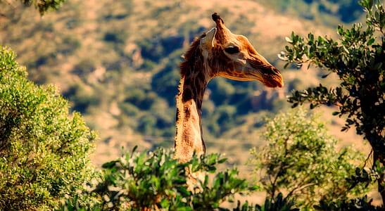 brown giraffe near green leaf tree at daytime