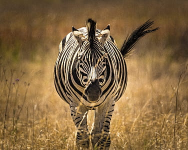 selective photography of zebra running