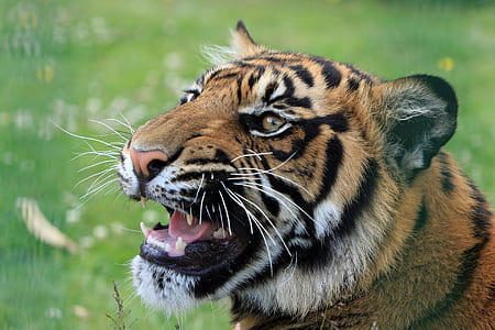 animal photograph of Bengal tiger