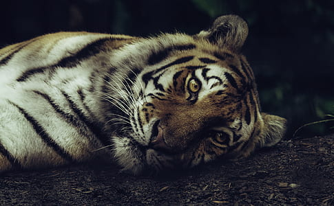tiger lying on soil