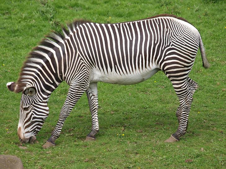 zebra grazing on green grass