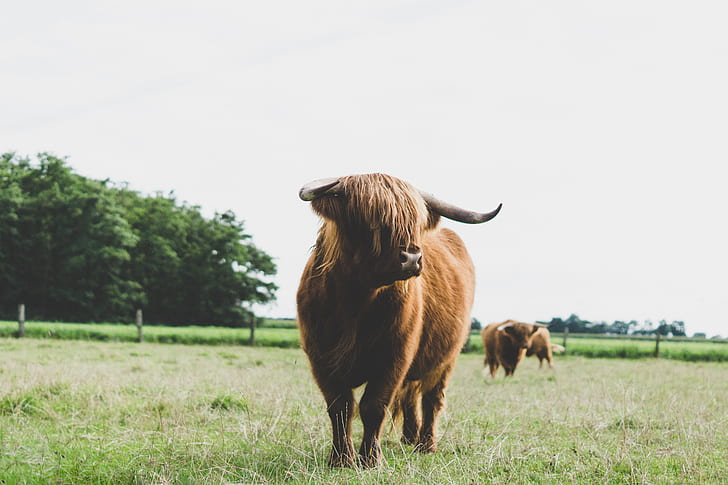 photo of brown cattle on grass field