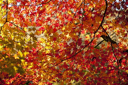 orange and yellow maple leaves