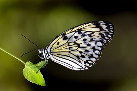 butterfly, paper kite, macro, insect, nature, wings