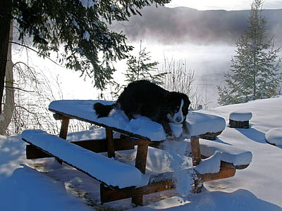 adult Bernese mountain dog lying on wooden picnic table with snows near lake