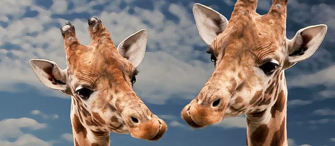 closeup view of two giraffes