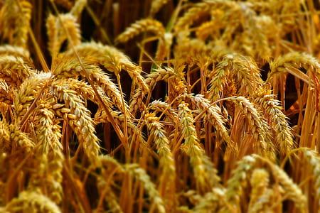 wheat during daytime