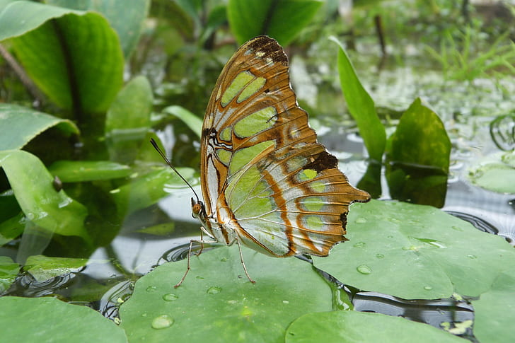 closeup photography malachite butterfly perched on green leaf pant
