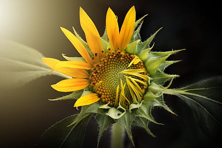 yellow and green sunflower digital wallpaper