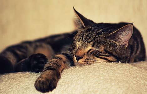 closeup photography of sleeping tabby cat