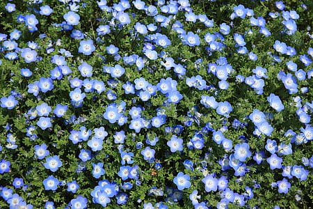 bush of Nemophila flower