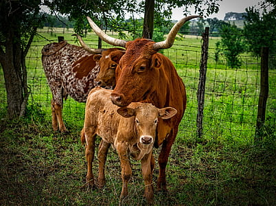 three brown cattles under tree
