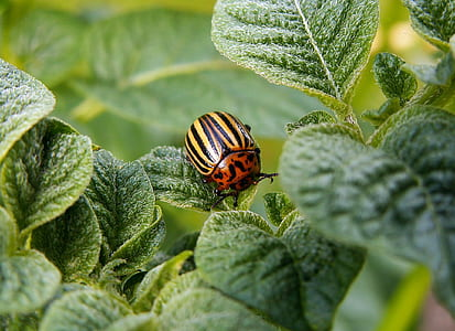 potato colorado beetle on green leaf plant