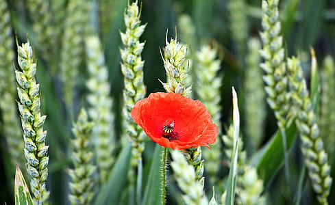 selective-focus photo of red poppy on wheat field