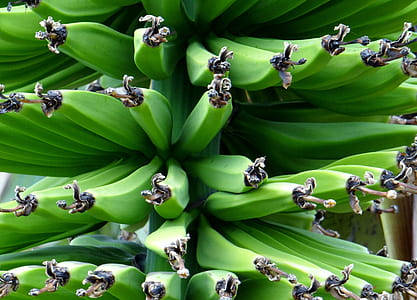 green banana fruit