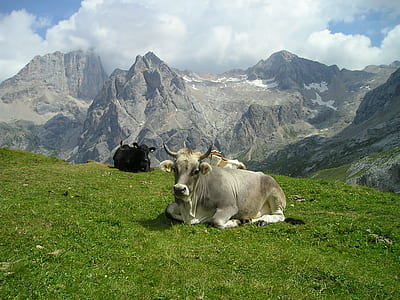 herd of cows laying on grass field with mountain as background photo
