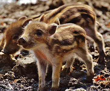 three brown piglets on mud