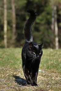 bombay cat walking on green grass during daytime