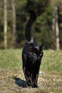 bombay cat walking on green grass during daytime