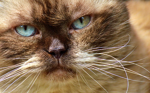 selective focus photography of Ragdoll cat