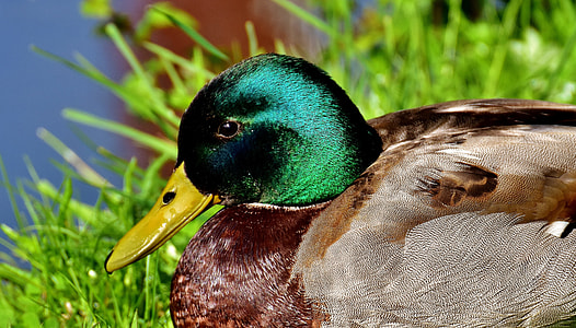 focus photo of female mallard duck