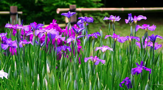 purple and pink irises in bloom at daytime